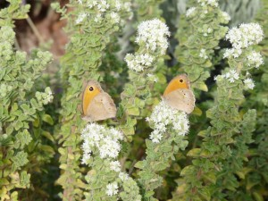Butterflies on oregano in the Tao's garden