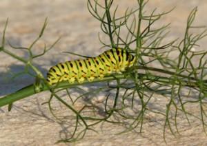 Κάμπια της πεταλούδας Papilio Machaon σε μάραθο