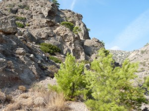 Apiganias pines